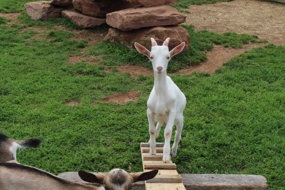 Magdalen Island Goat Farm
